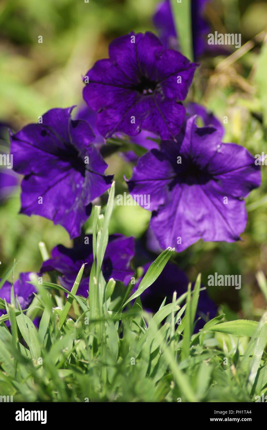purple petunia flower, fleur de petunia violet pourpre, flor de petunia purpura morado, Petunie Blume purpur, fleurs de jardin violette, pourpre - Stock Image
