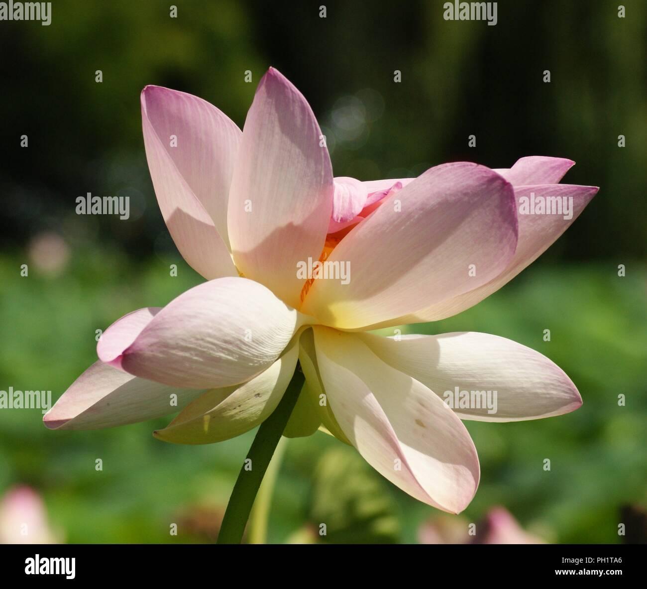 Fleur De Lotus fleur rose de lotus nelumbo, pink waterlillie nelumbo flower, rosa