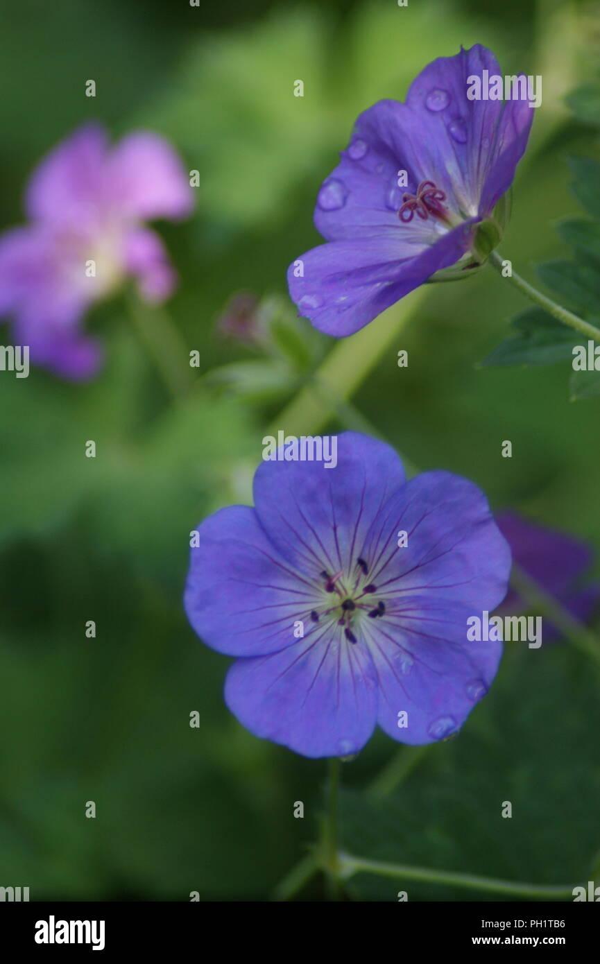 purple geranium flowers, fleurs violettes de geranium vivace, lila mehrjährige Geranienblüten, flores de geranio perenne púrpura, geranium sanguin - Stock Image