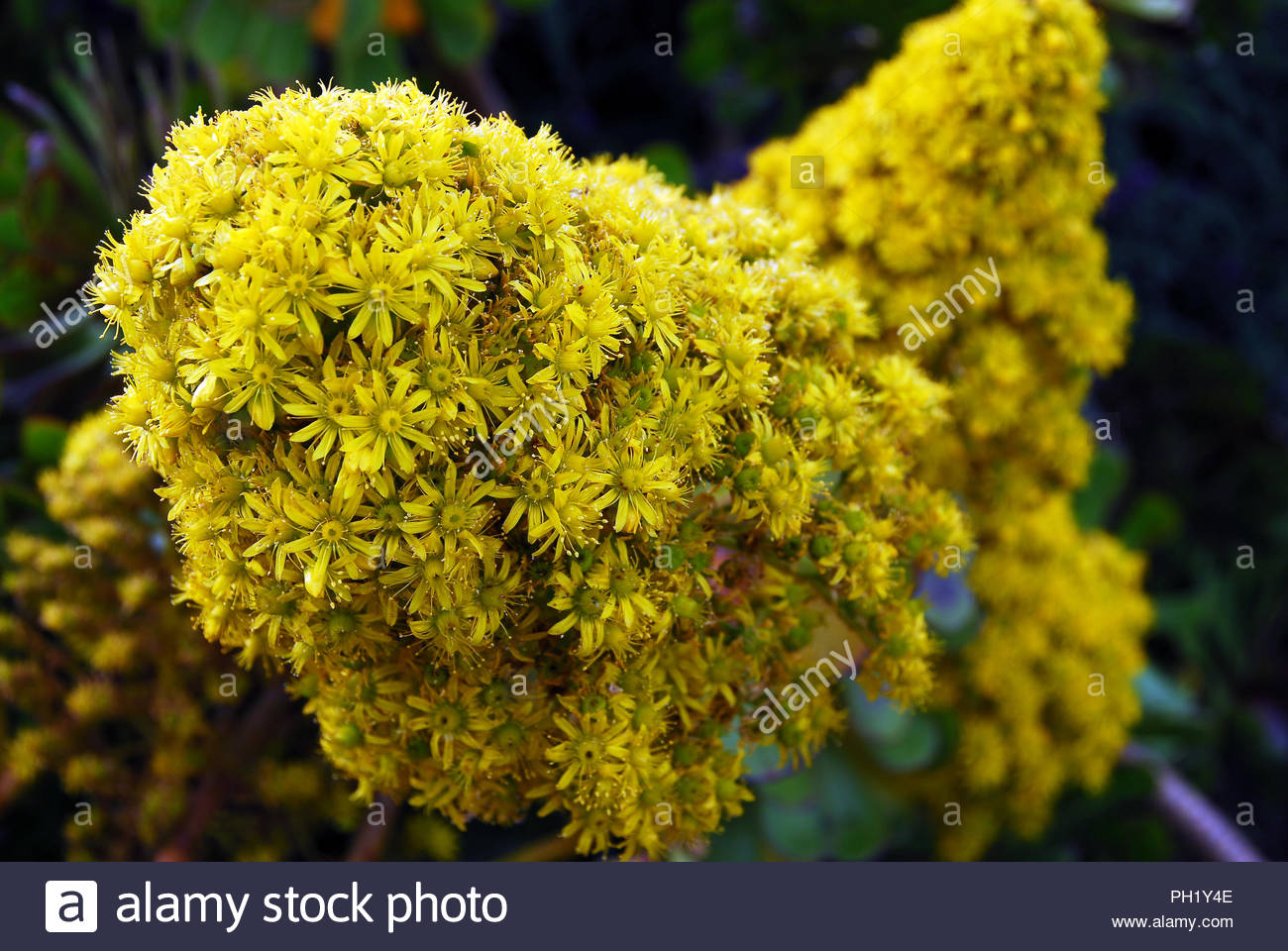 Isolated Bright Yellow Flower Cluster Blooming On Succulent Plant