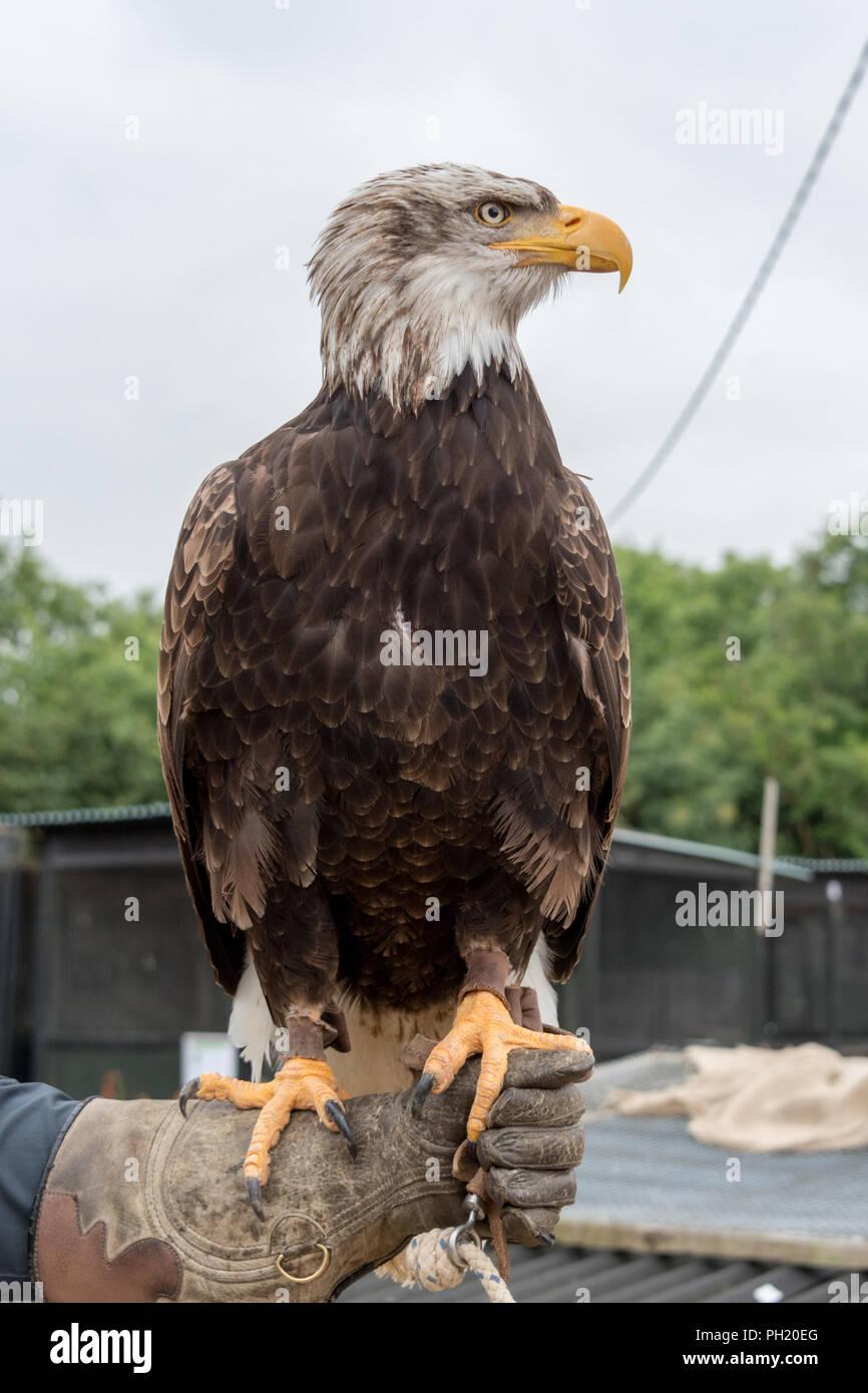 American Bald Eagle at Falconry - Stock Image