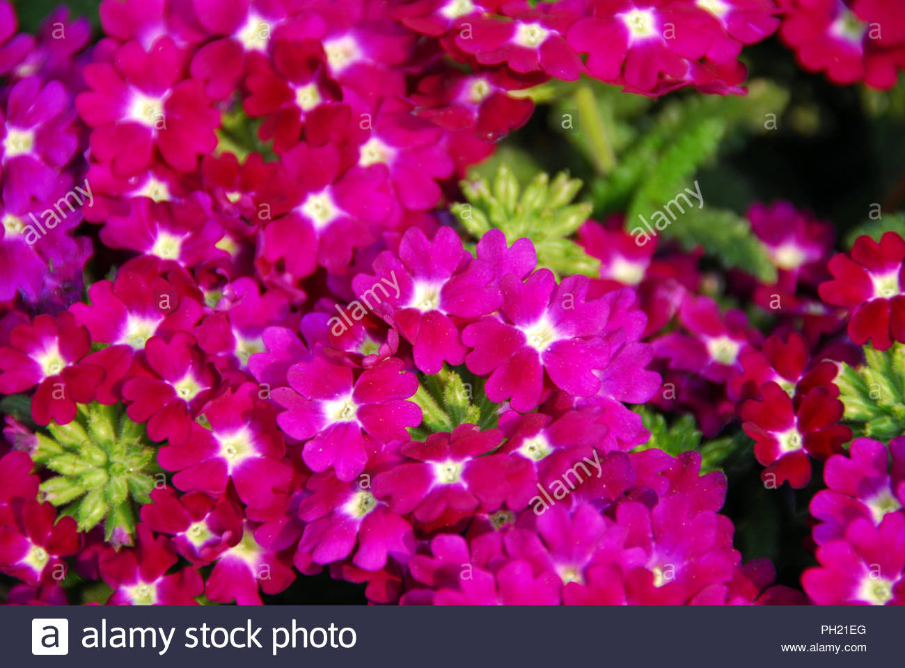 Small Pink White Flowers Blooming In A Round Pattern Stock Photo