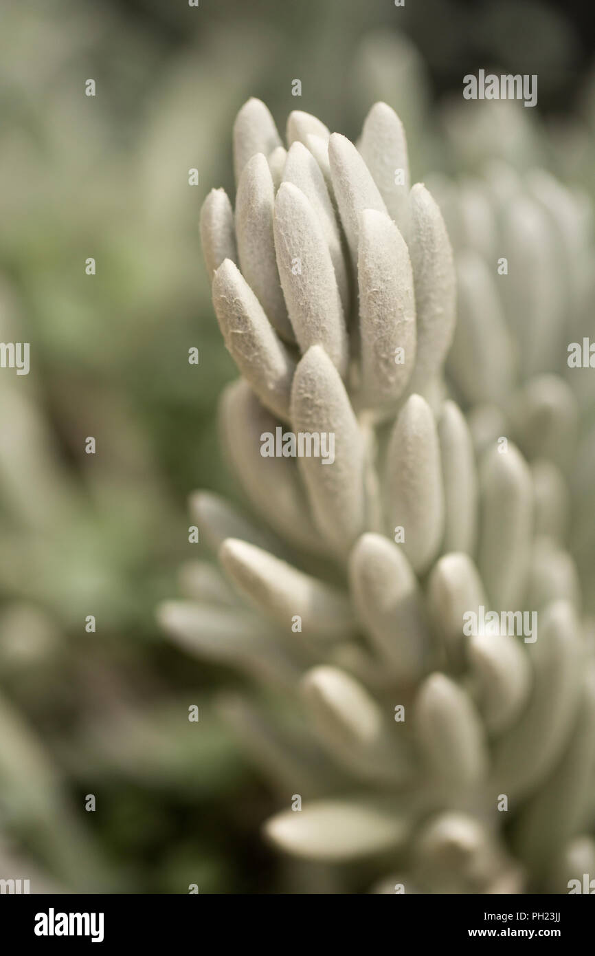 Cocoon plant (Senecio haworthii), a member of the aster family and native to South Africa. - Stock Image
