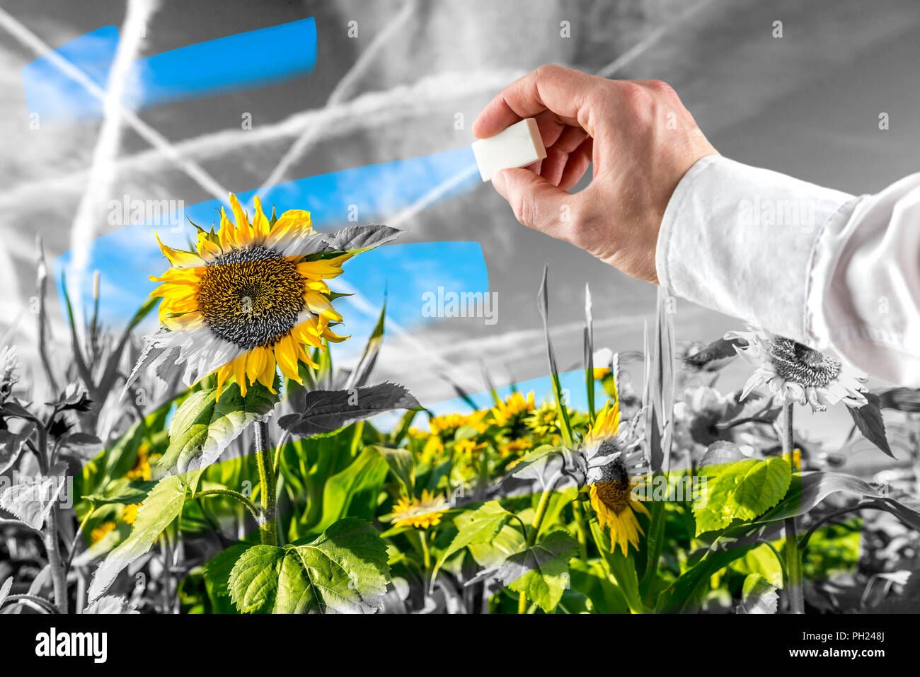 Man conserving nature erasing pollution in the atmosphere over an agricultural field of sunflowers to expose the vibrant colours of nature under a gre - Stock Image