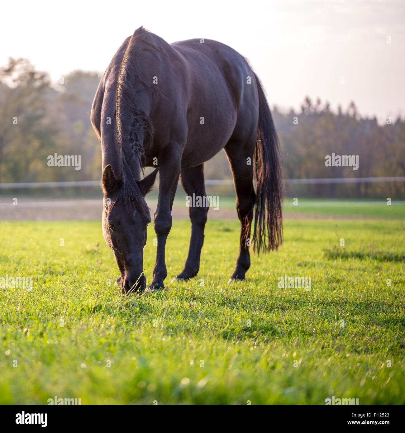 Horse grazing in a lush green meadow in square format. - Stock Image