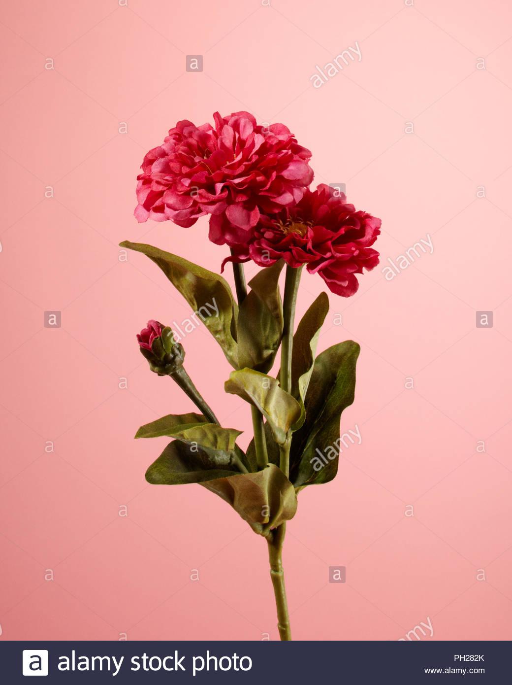 Pink flower - Stock Image