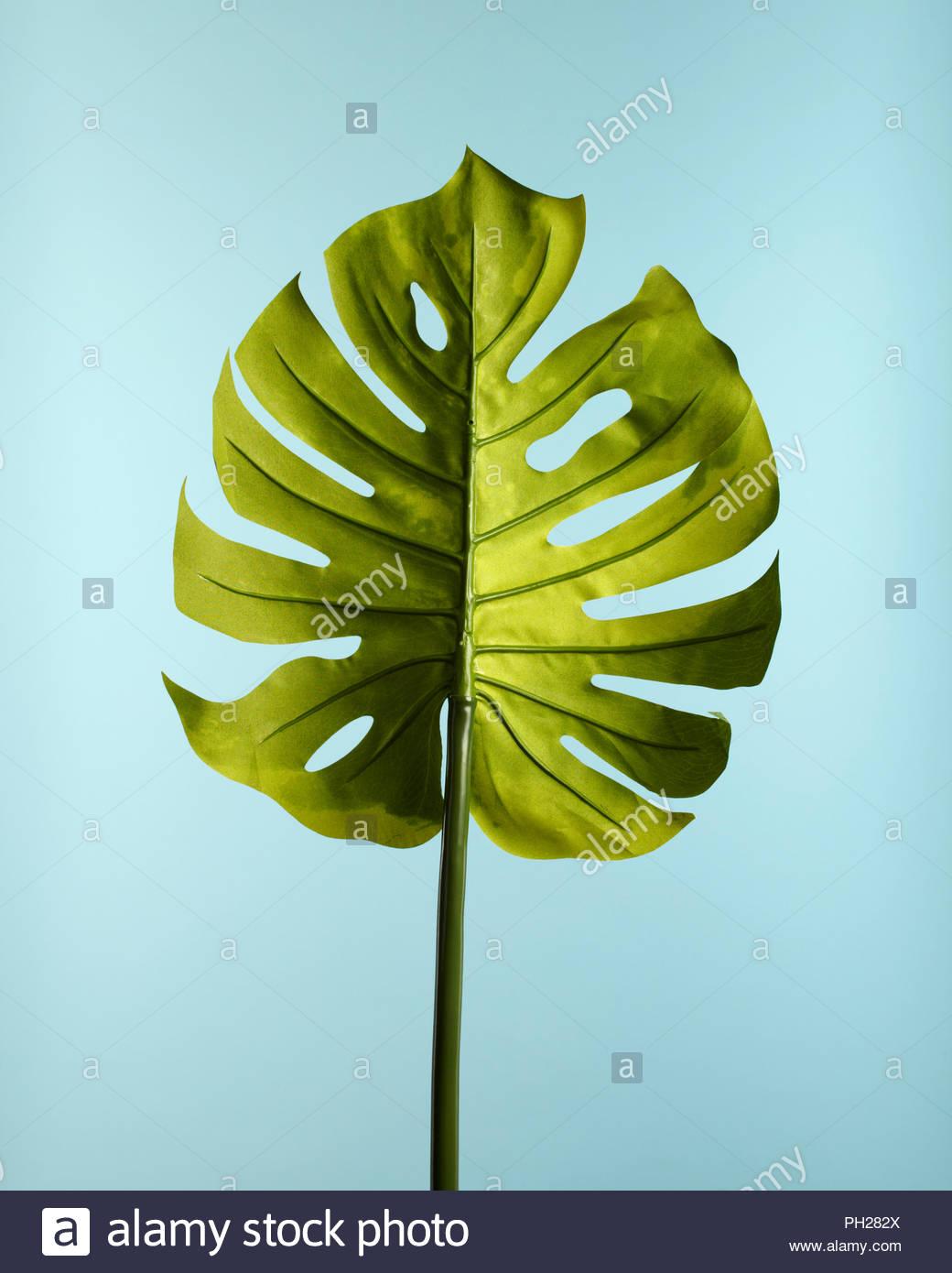 Palm leaf on blue background - Stock Image
