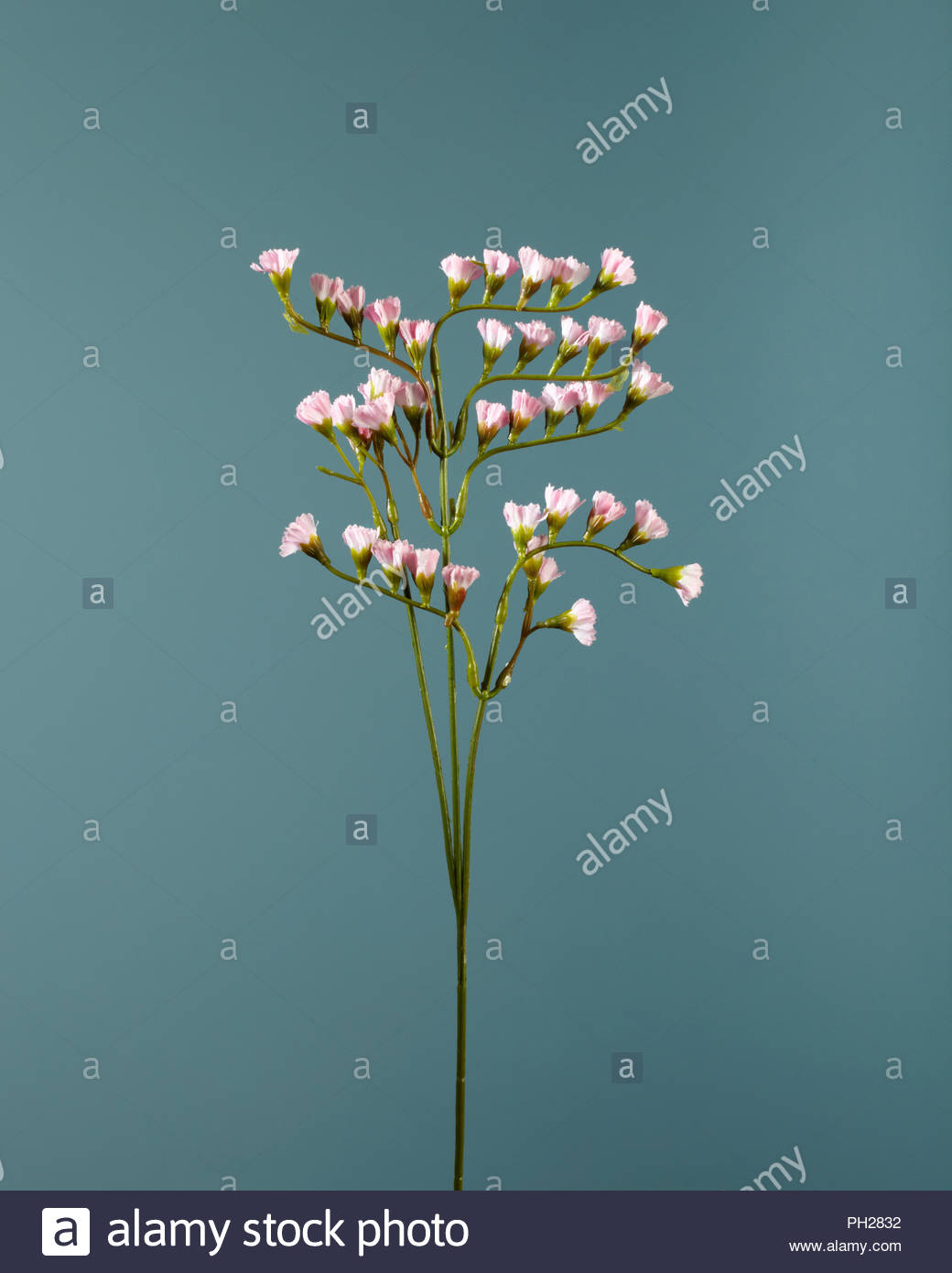 Pink flowers on twig Stock Photo