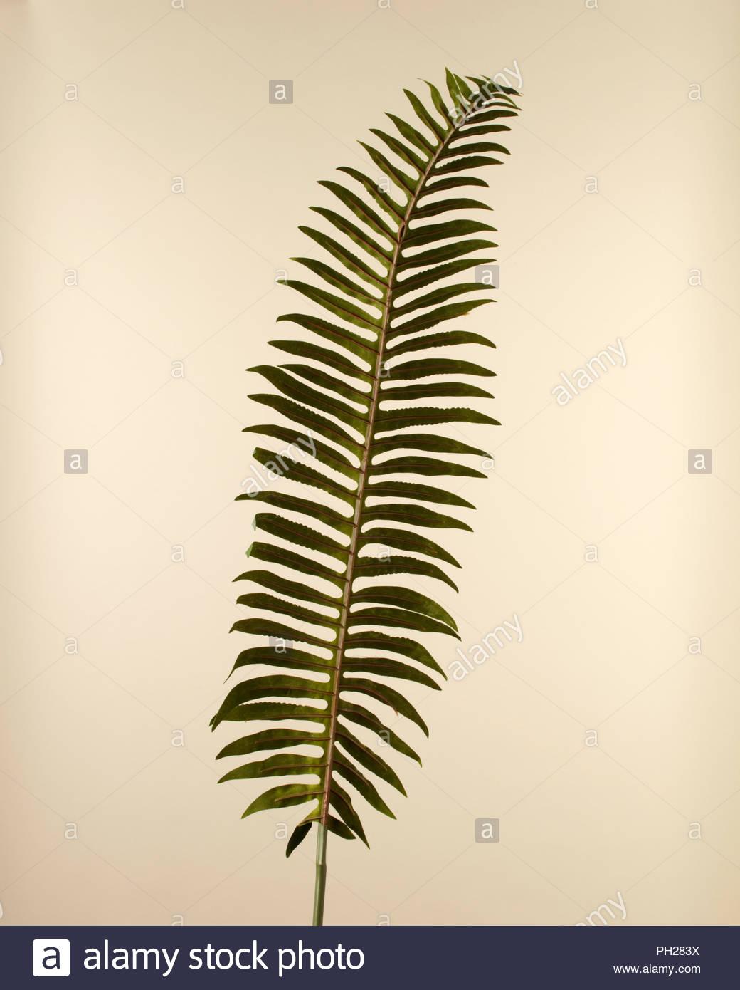 Fern leaf - Stock Image