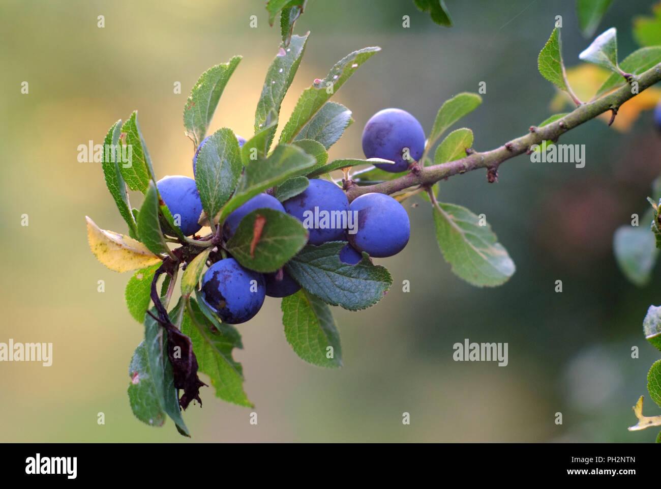 Sloe berries on a blackthorn bush (Prunus spinosa) - Stock Image