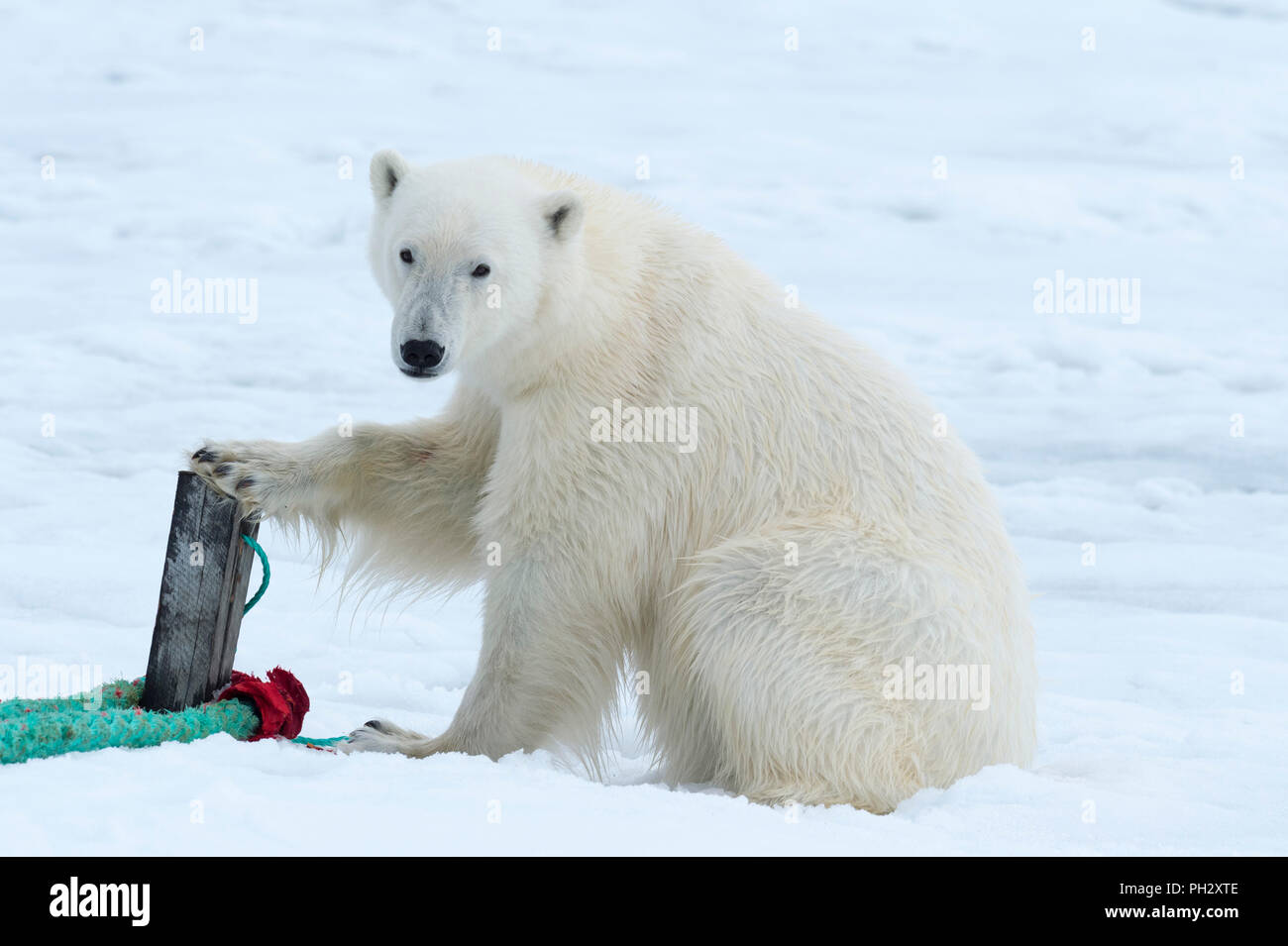 Polar Bear (Ursus maritimus) inspecting the rope and the pole that holds an expedition ship, Svalbard Archipelago, Norway - Stock Image