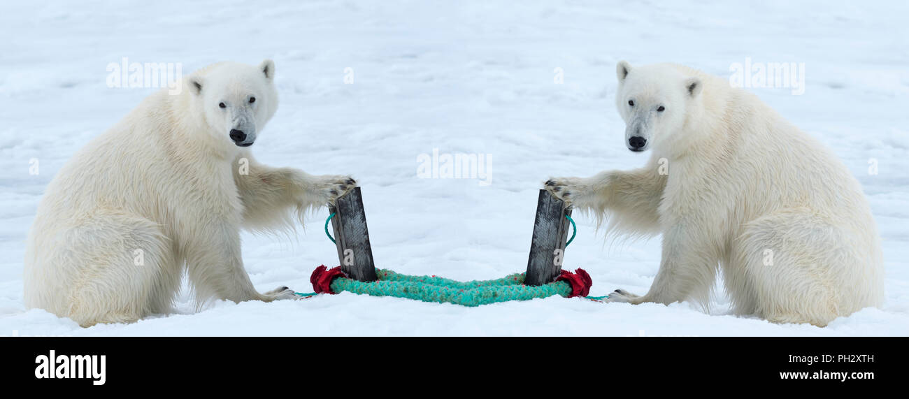 Two Polar Bears (Ursus maritimus) inspecting the rope and the pole holding an expedition ship, Svalbard Archipelago, Norway - Stock Image