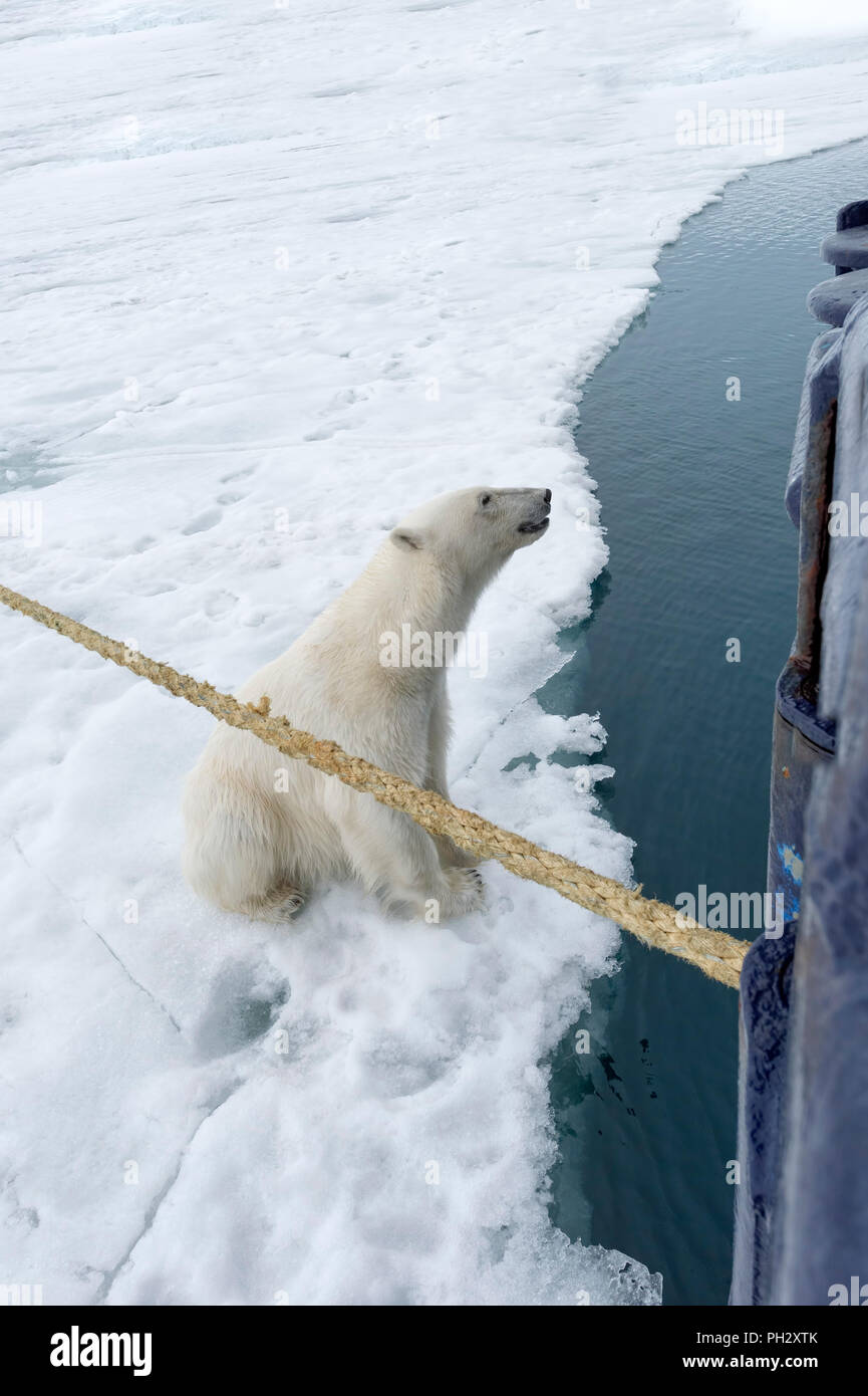 Curious Polar Bear (Ursus maritimus) sitting beside an expedition ship and looking up, Svalbard Archipelago, Norway - Stock Image