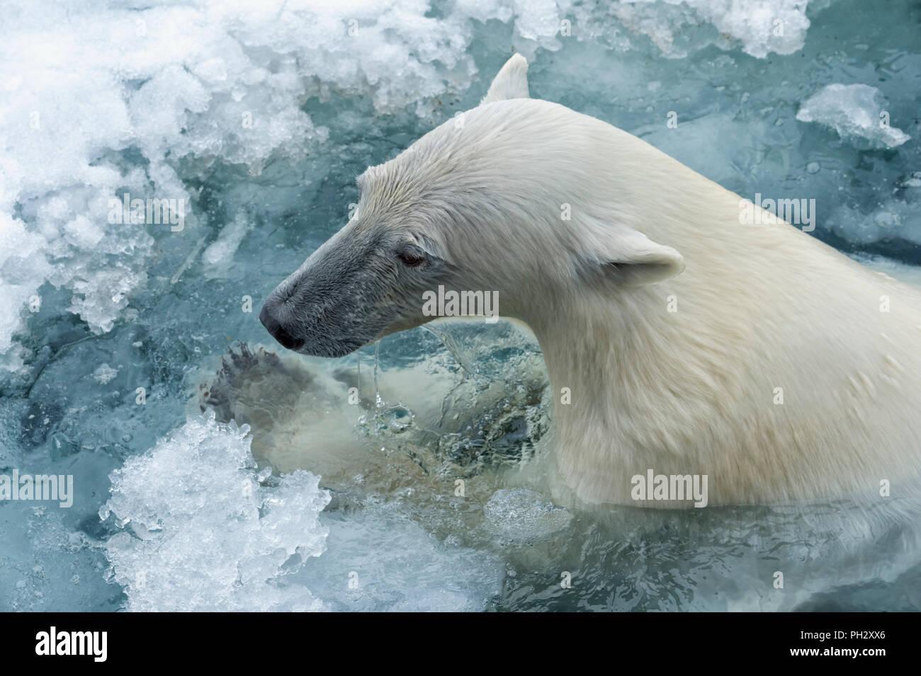 Polar Bear (Ursus maritimus) swimming through pack ice, Svalbard Archipelago, Norway - Stock Image