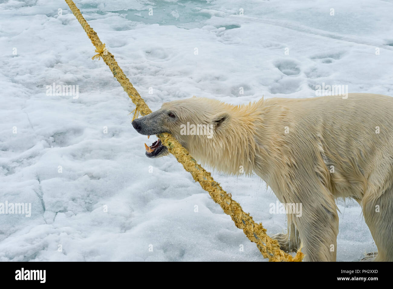 Polar Bear (Ursus maritimus) pulling and biting on the rope of an expedition ship, Svalbard Archipelago, Norway - Stock Image
