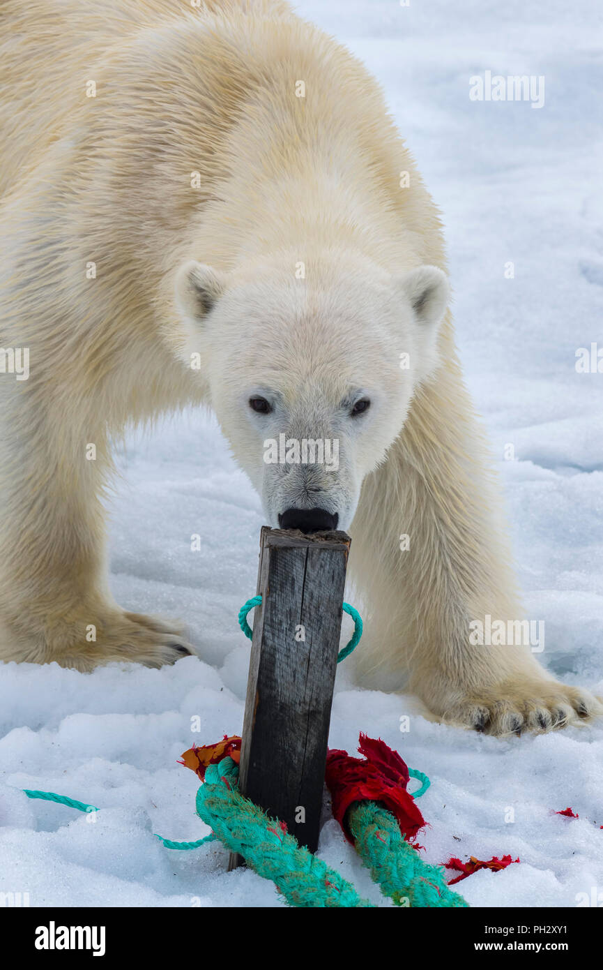 Polar Bear (Ursus maritimus) inspecting the rope and chewing on the pole of an expedition ship, Svalbard Archipelago, Norway - Stock Image