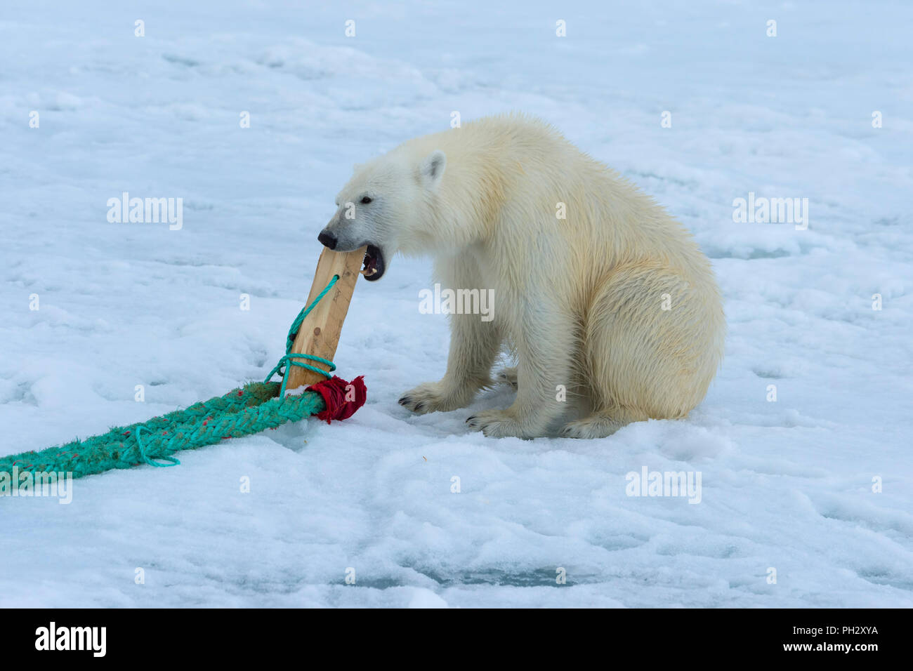 Polar Bear (Ursus maritimus) inspecting and chewing on the pole of an expedition ship, Svalbard Archipelago, Norway - Stock Image