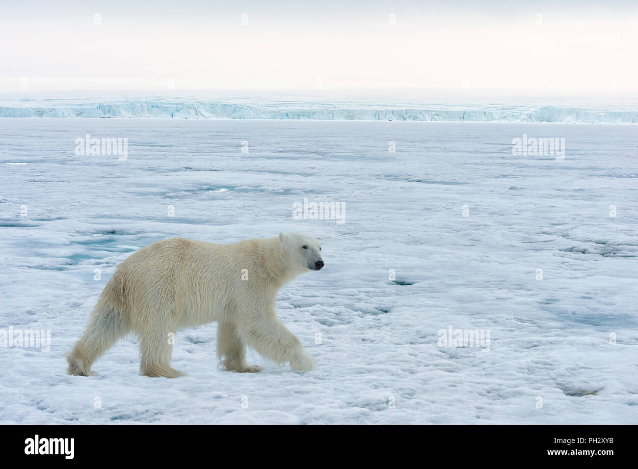 Polar Bear (Ursus maritimus) walking over pack ice, Svalbard Archipelago, Norway - Stock Image