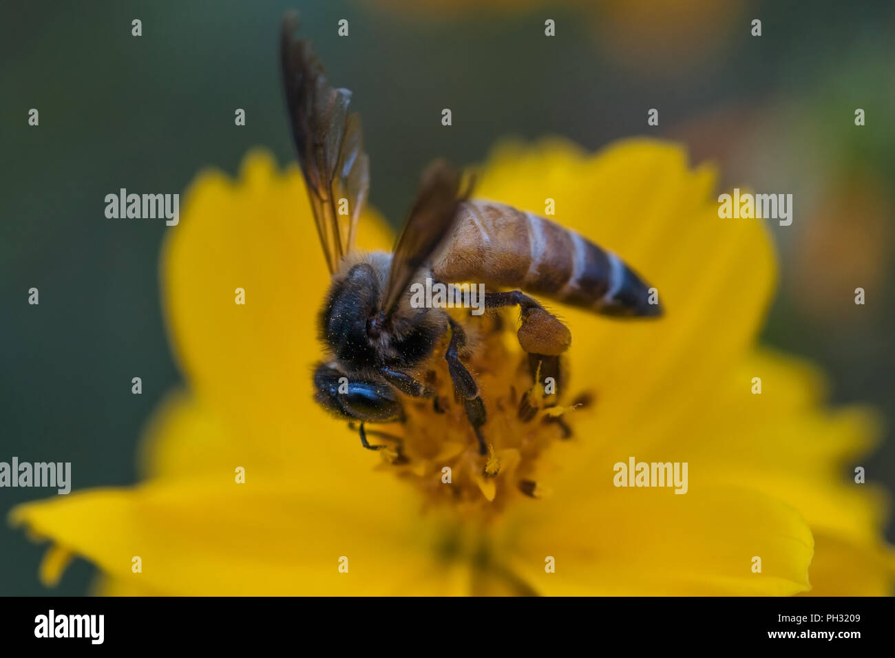 Honey bee pollinating a yellow cosmos flower - Stock Image
