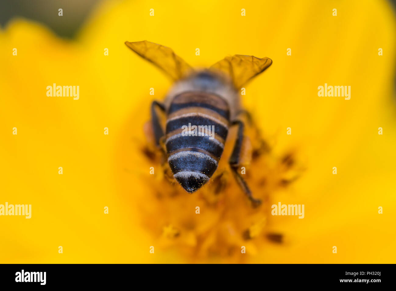 Beehind, the back of a honey bee pollinating a yellow cosmos flower - Stock Image