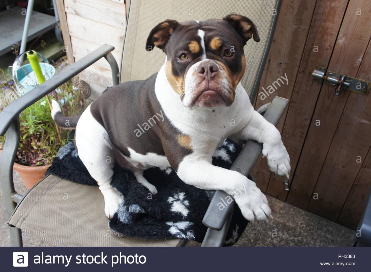 bulldog sat on chair , funny dog ,old tyme bulldog - Stock Image