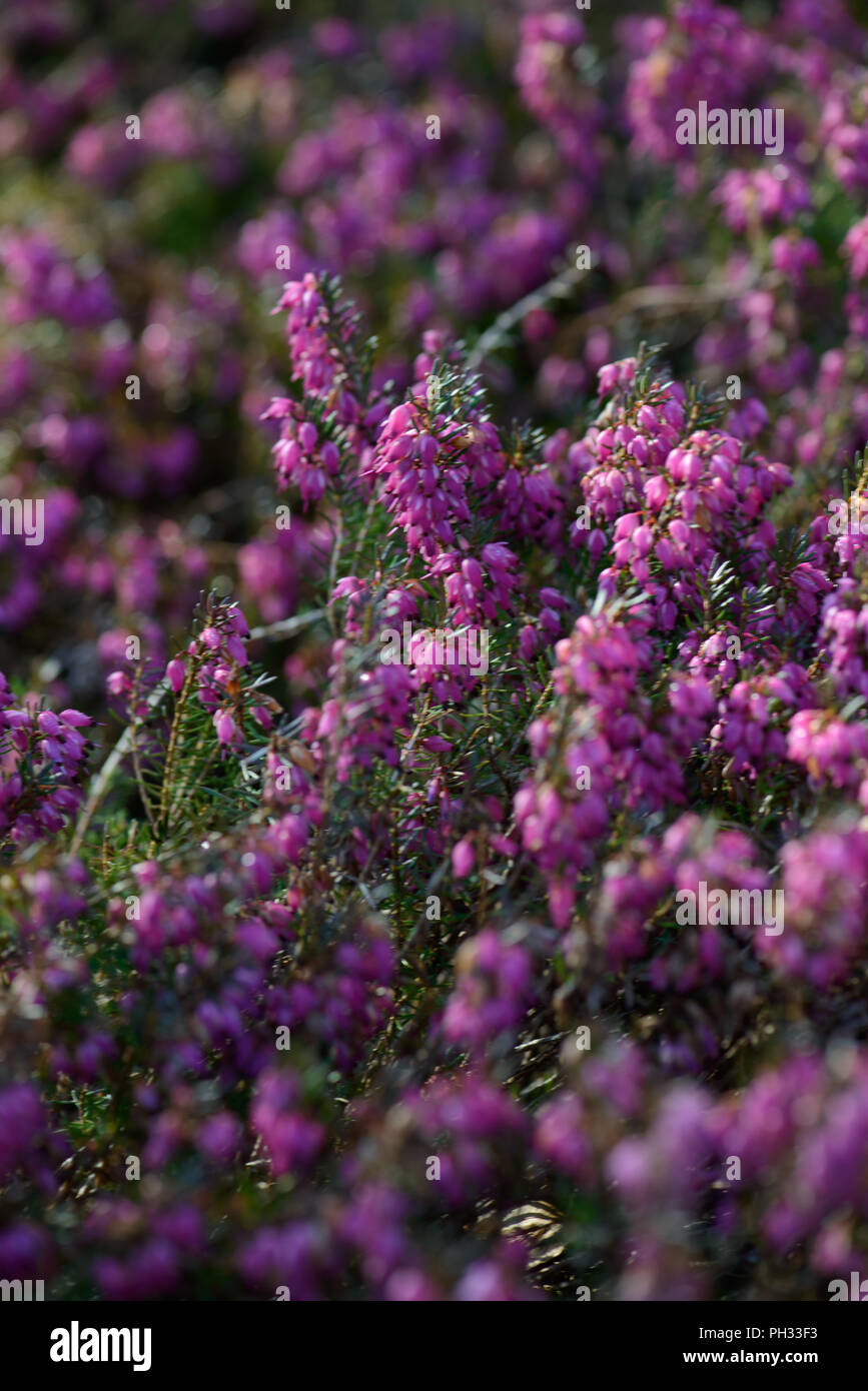 Erica carnea Myretoun Ruby - Stock Image