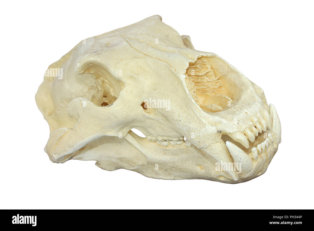 Polar Bear Skull - Stock Image