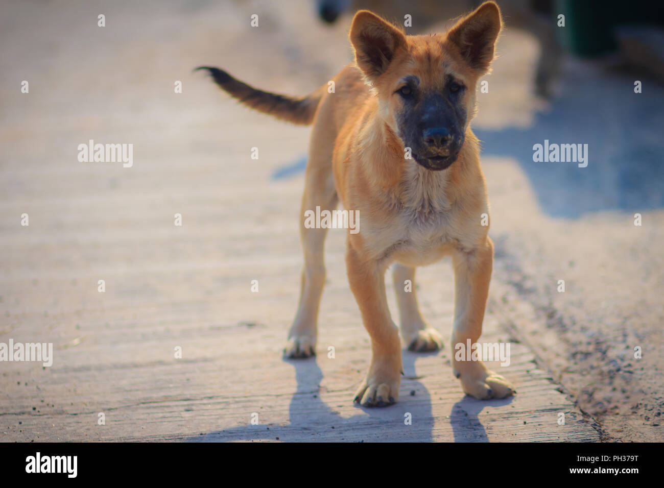 A Brown Dog That Stand On Concrete Floor In The Morning Lo Ng And Barking To The Stranger