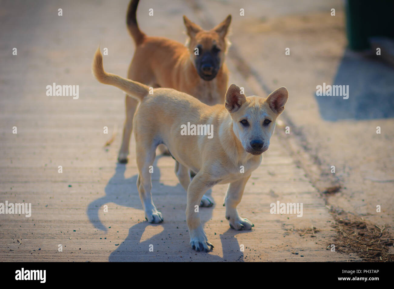 Young White And Brown Dogs Are Standing On Concrete Floor In The Morning And Barking To The Stranger Two Dogs And Their Shadows On The Floor In The P