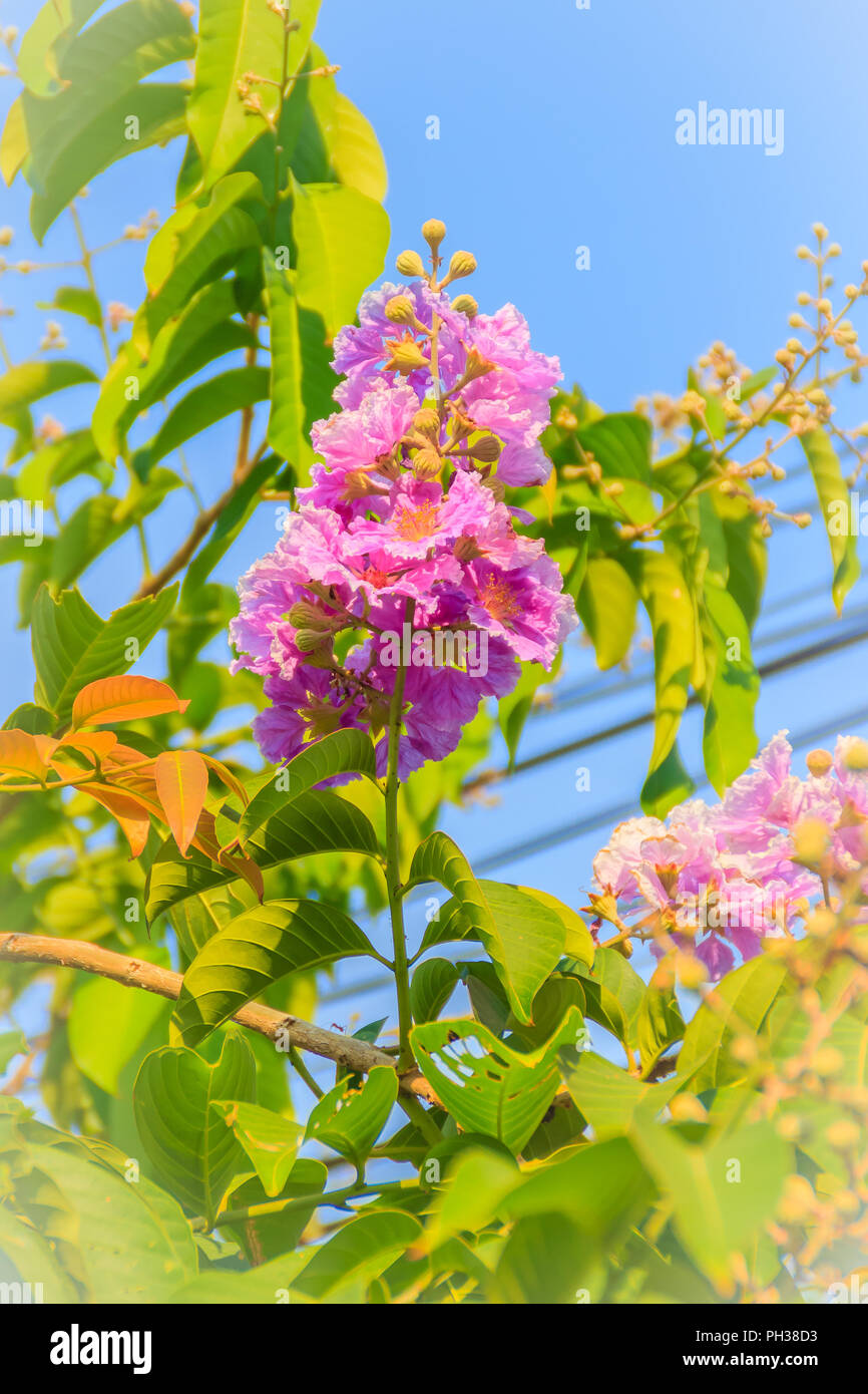 Purple Flowers And Green Leaves Of Queens Flower Lagerstroemia