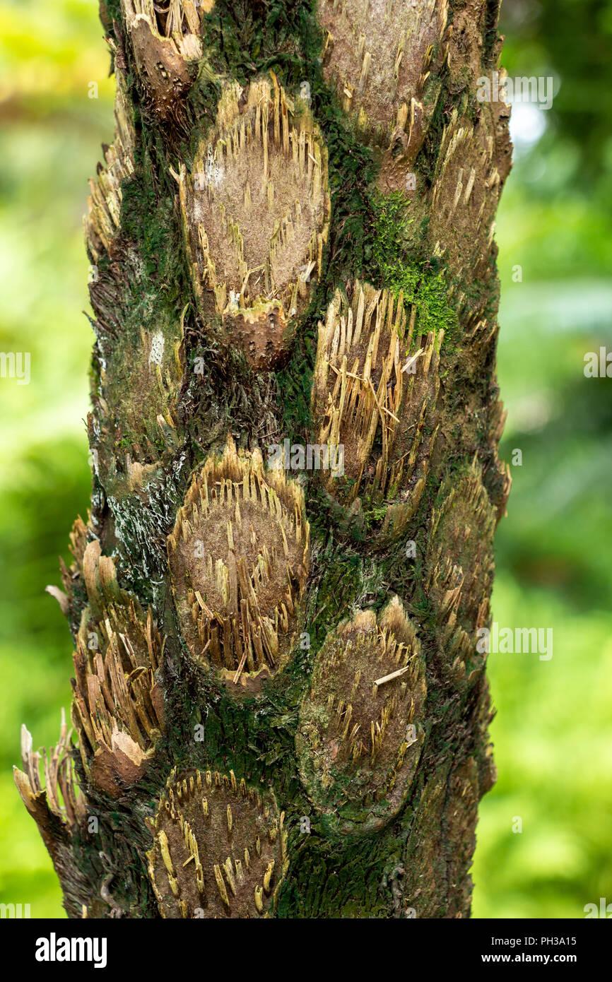 Australian tree fern (cyathea cooperi) trunk bark closeup - Davie, Florida, USA - Stock Image