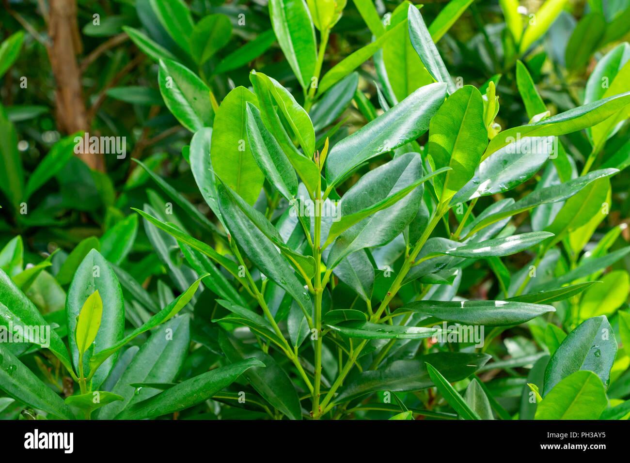 Pimenta Racemosa