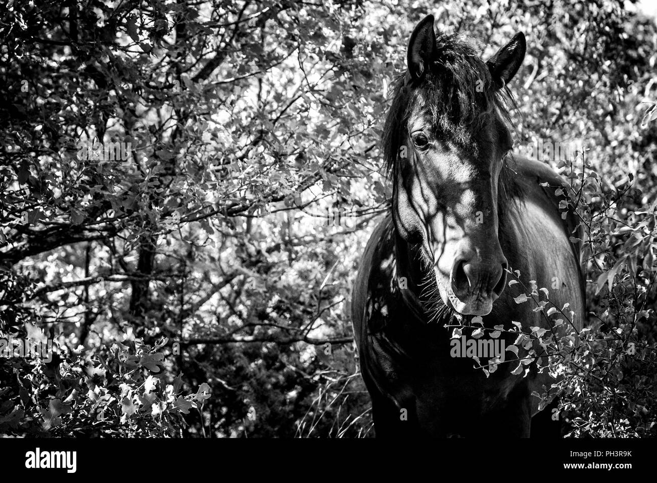 Wild horse in a forest (Black and white) - Stock Image