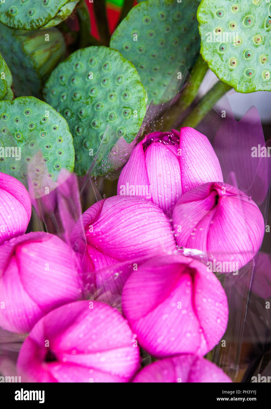 Lotus Blossoms In The Flower Market In Mong Kok District Of Hong