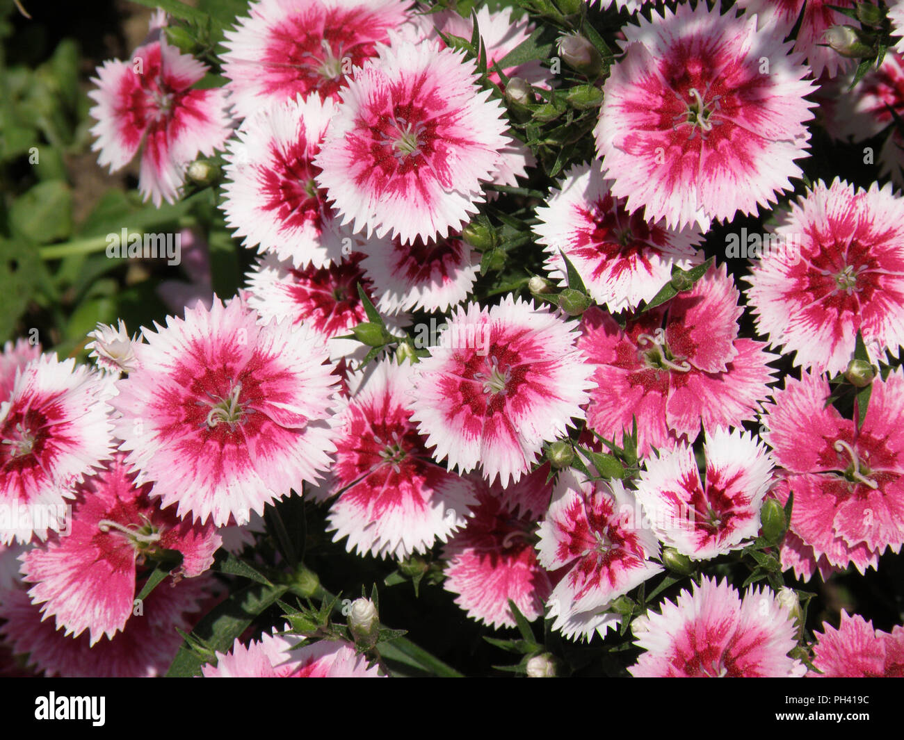 Garden With Flowering Pink And White Sweet William Flowers Blooming