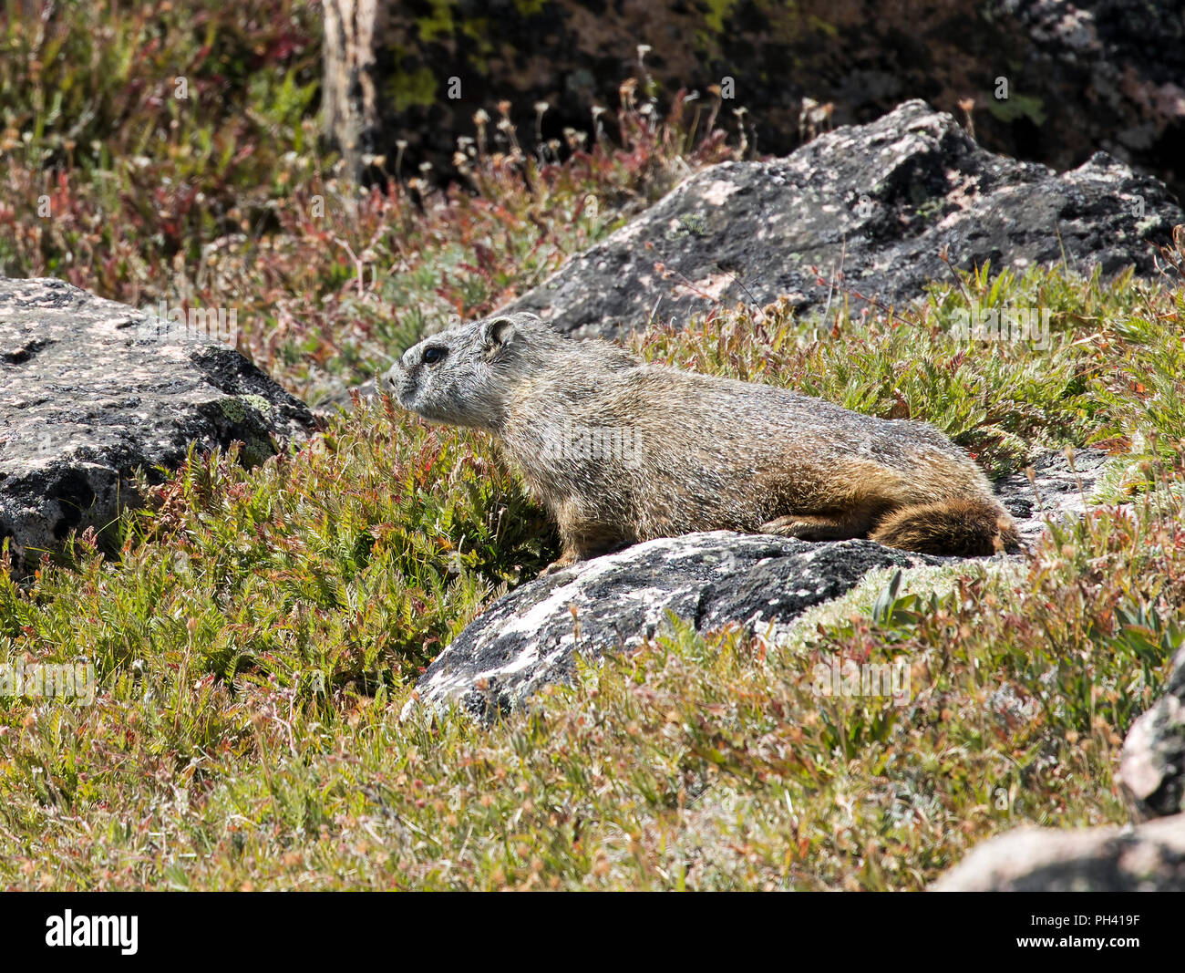 Yellow Bellied Marmot, Marmota flaviventris, Beartooth Scenic Highway, Wyoming, USA - Stock Image