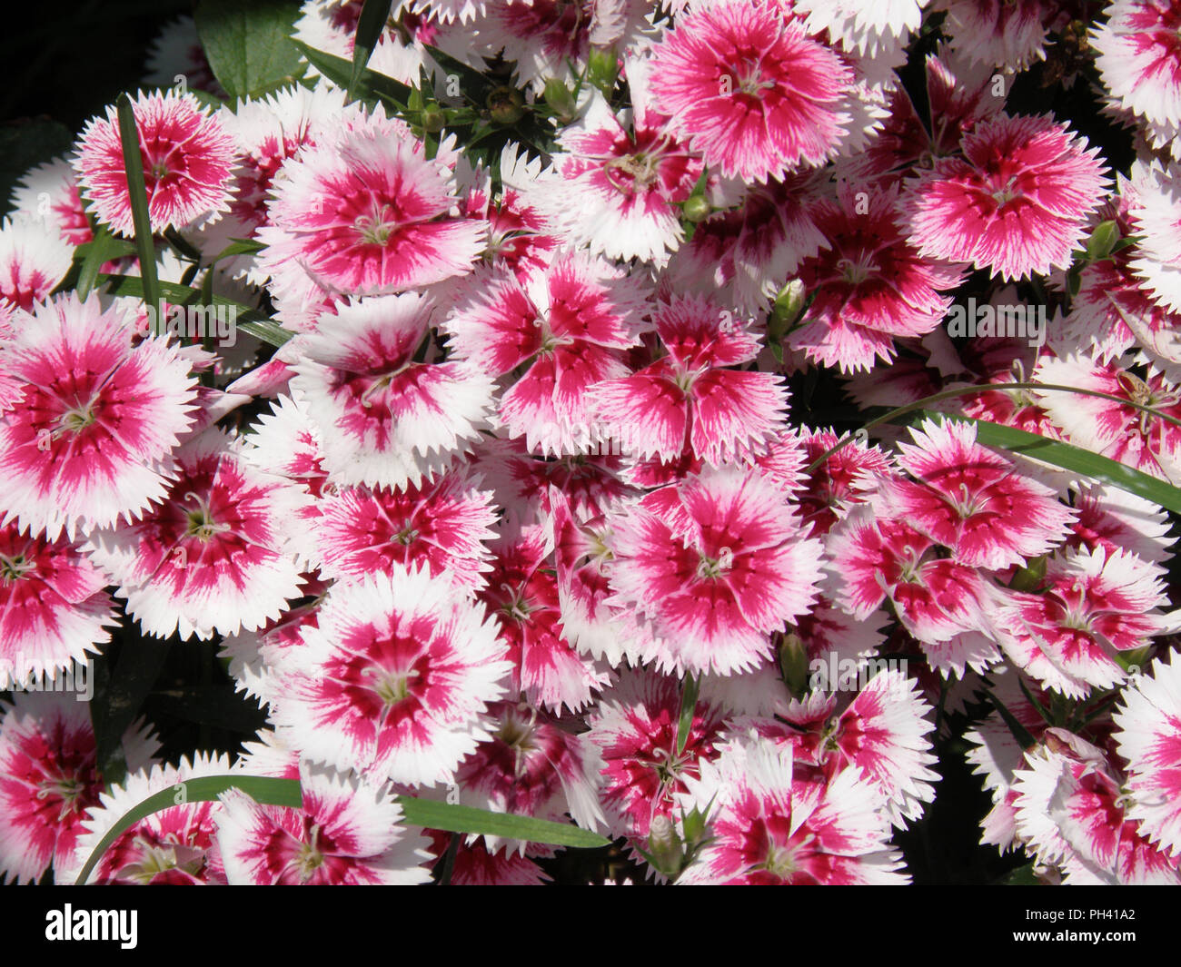 Blooming white and pink sweet Williams flowers in a garden. - Stock Image