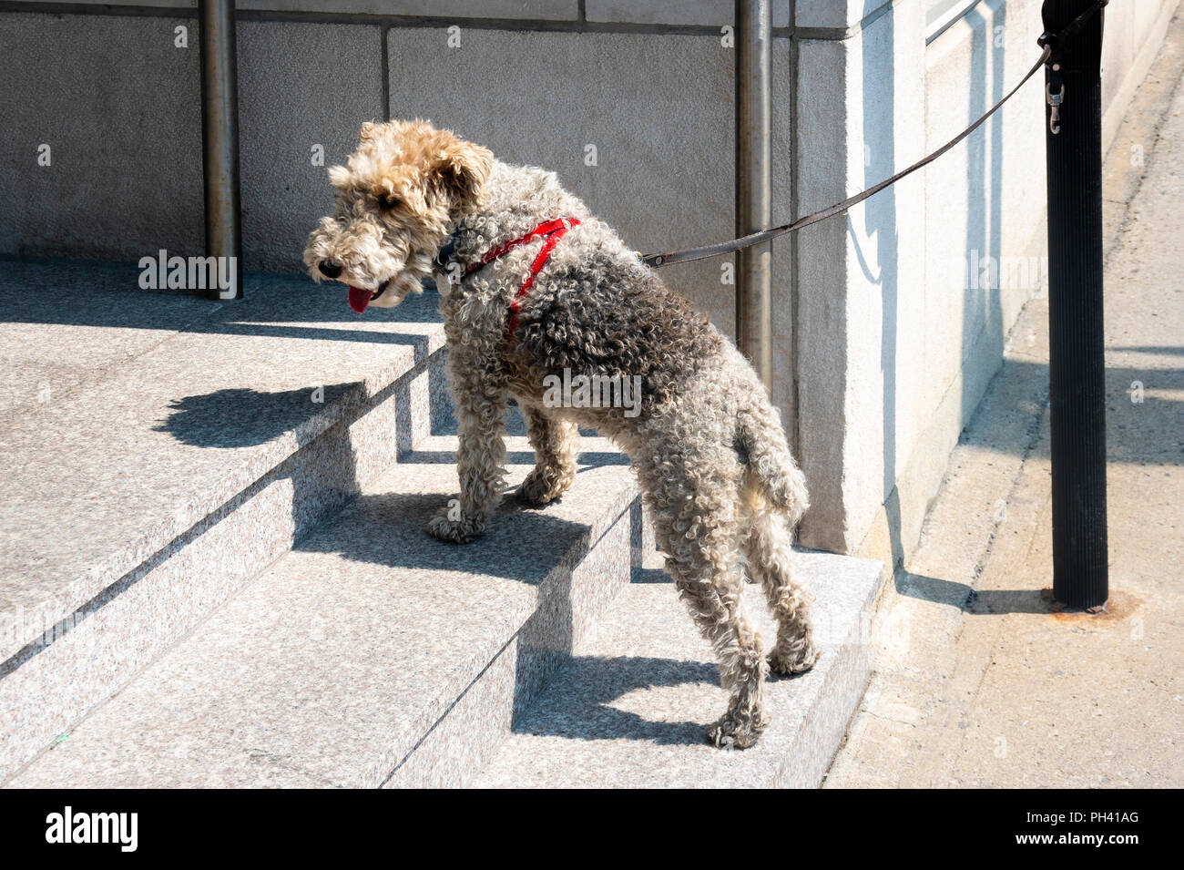 Airedale tied outside a shop waiting for its master - Stock Image