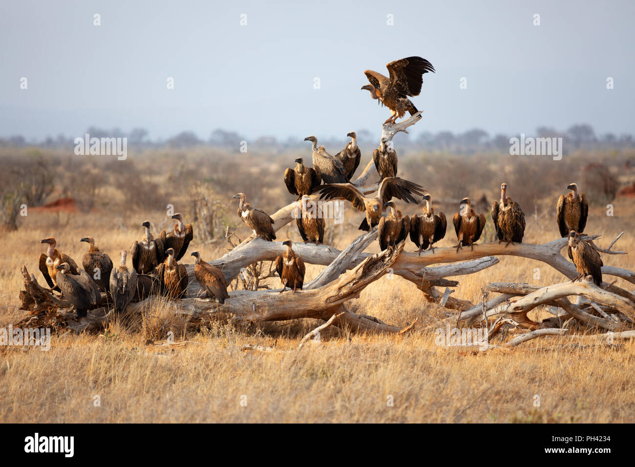 TSAVO EAST NATIONAL PARK, KENYA, AFRICA - A committee or flock of vultures perched on a dead tree branch in late afternoon sun - Stock Image