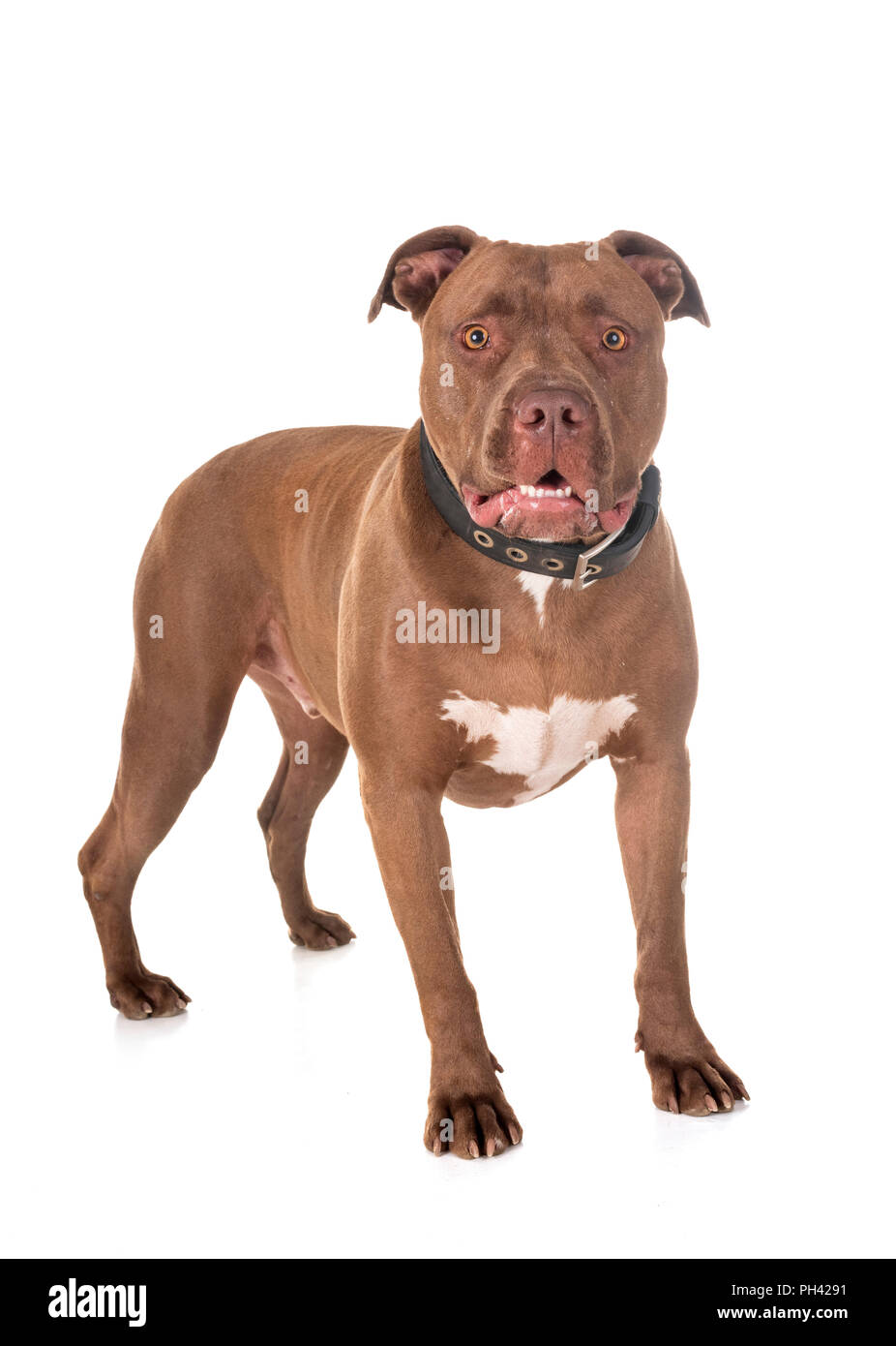 Pitbull Dog Attack Cut Out Stock Images & Pictures - Alamy