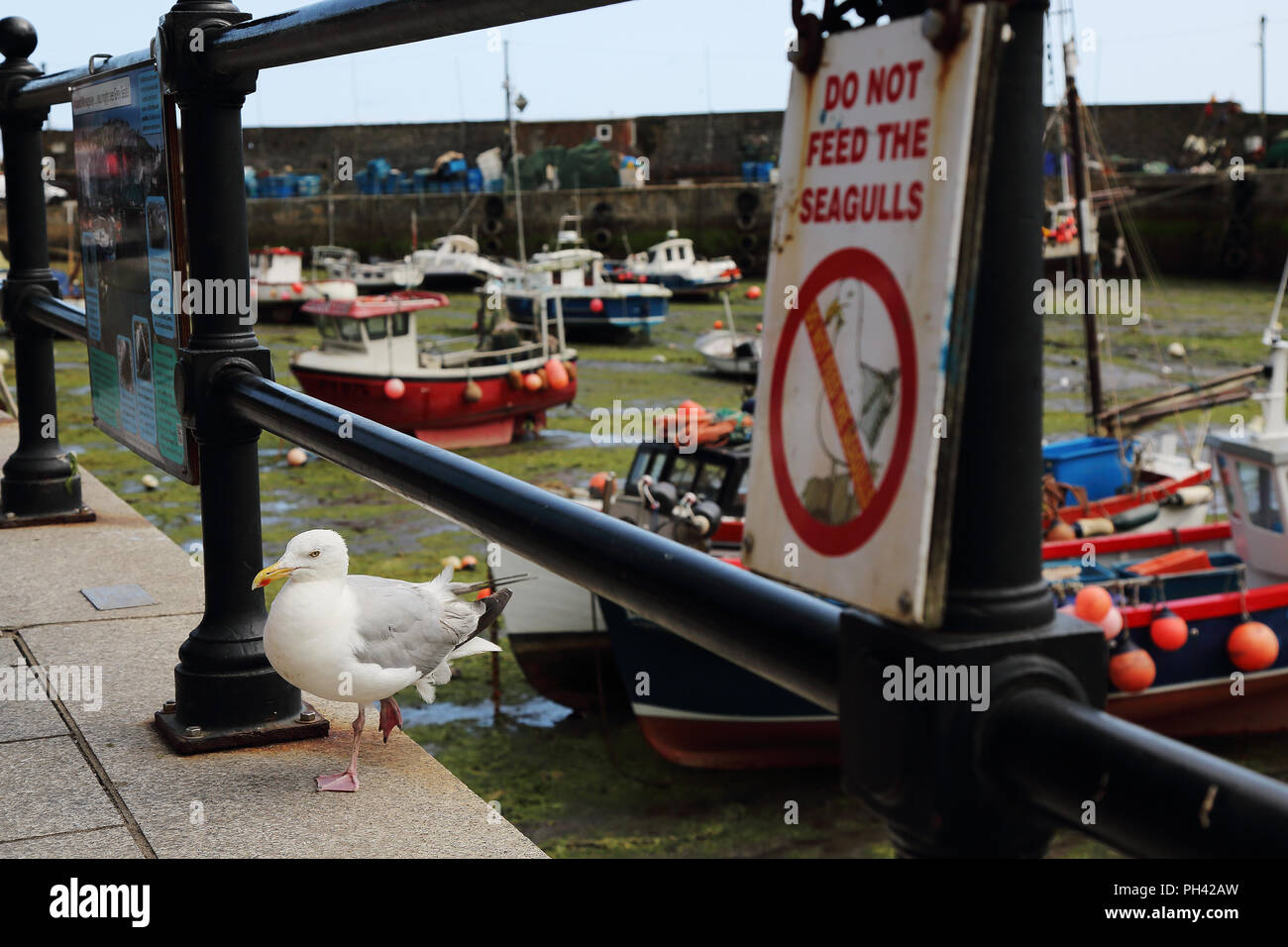 A seagull stands by a notice banning the feeding of such birds in Mevagissey Harbour, Cornwall, UK. Stock Photo