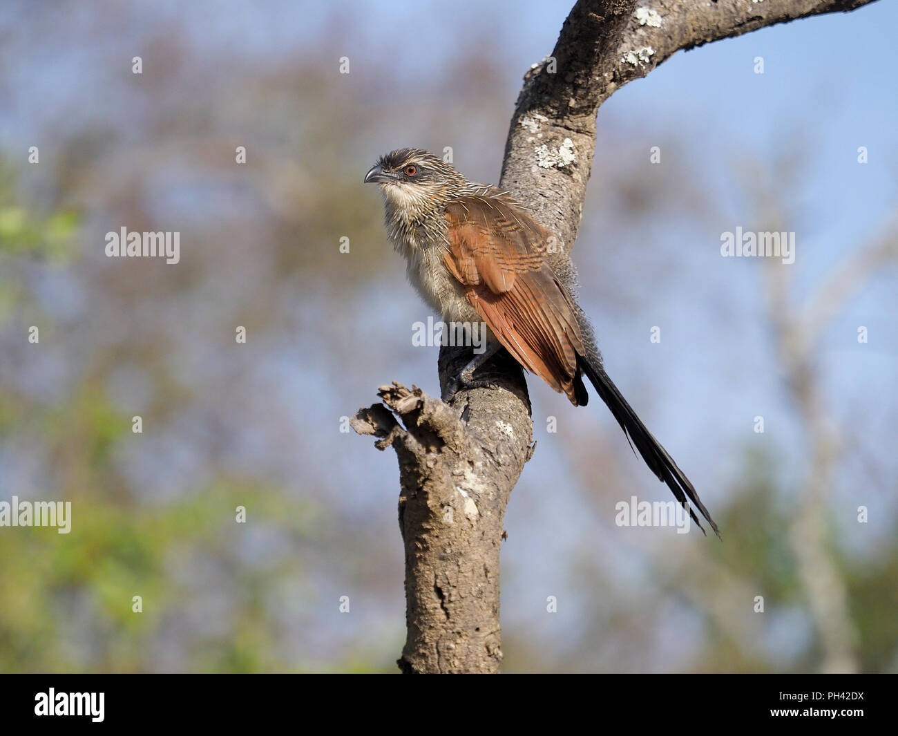 White-browed coucal, Centropus superciliosus, Single bird on branch, Uganda, August 2018 - Stock Image