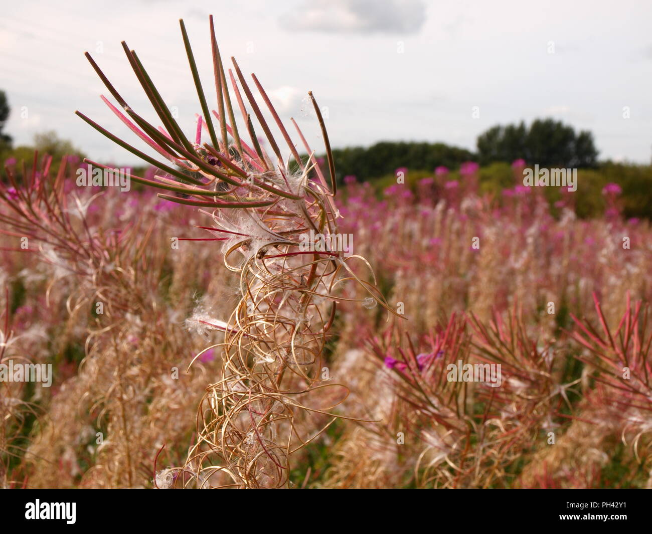 charmaenerion angustifolium fireweed rosebay willowherb shot in chorlton meadows manchester england in august Stock Photo