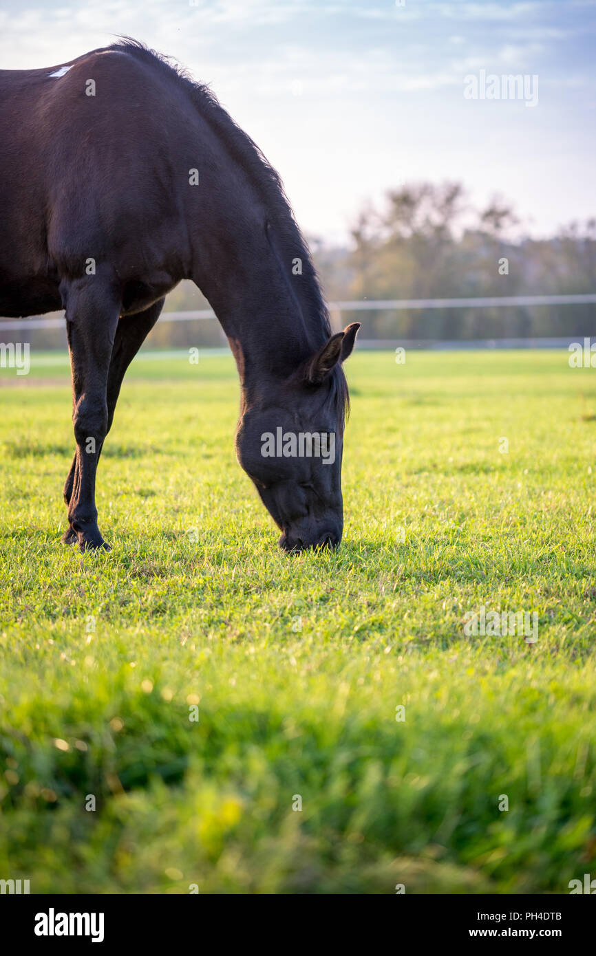 Brown horse grazing in a lush green pasture on a sunny day. - Stock Image