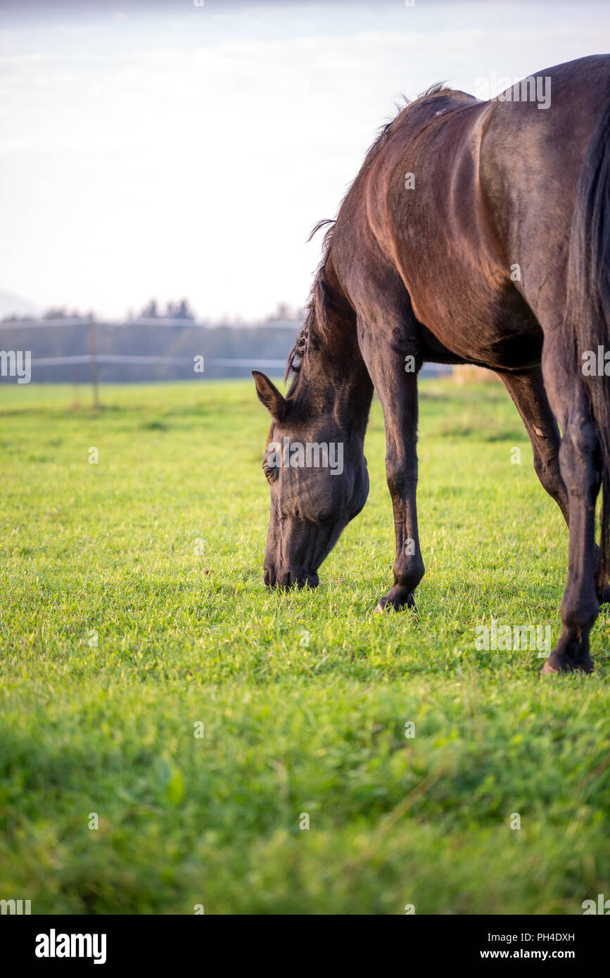 Brown horse grazing in a lush green meadow or pasture viewed side on from behind with copyspace on a sunny day. - Stock Image