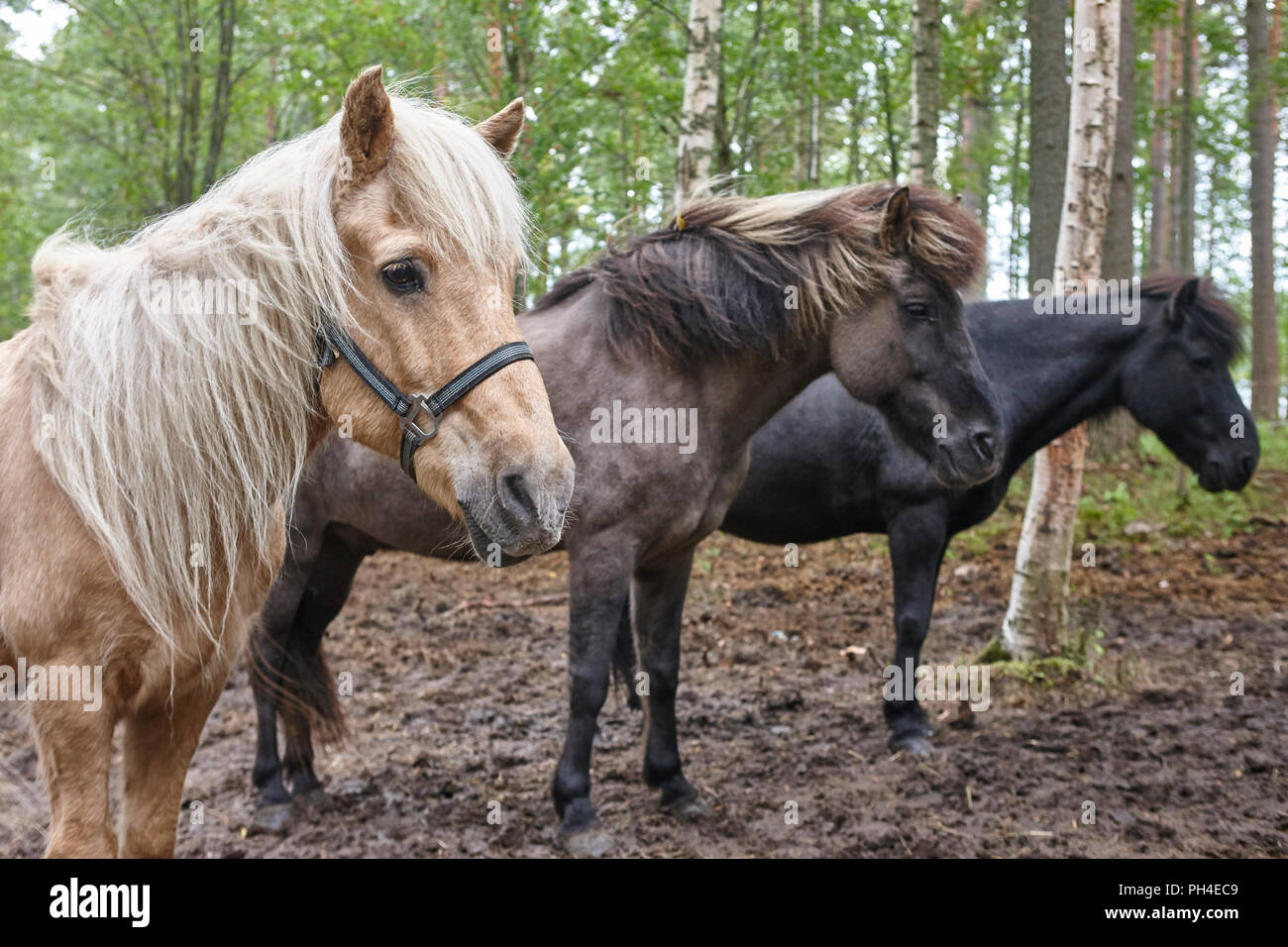 Horses in a Finland forest landscape. Animal background. Horizontal Stock Photo