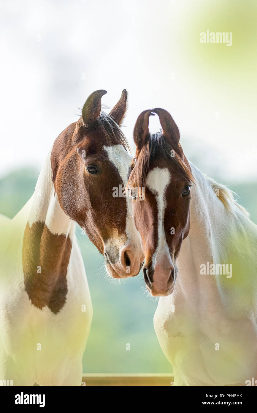 Marwari Horse. Portrait of two Pinto mares. India - Stock Image