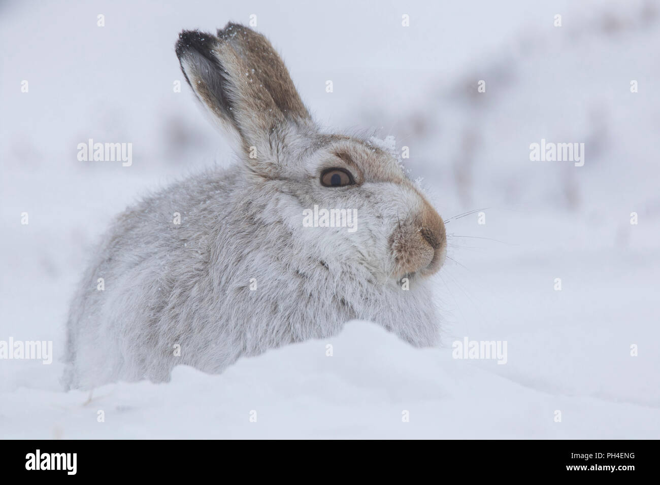Mountain Hare (Lepus timidus). Adult in white winter coat (pelage) in snow. Cairngorms National Park, Scotland - Stock Image