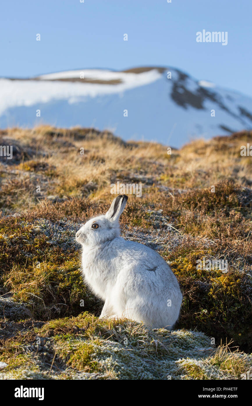 Mountain Hare (Lepus timidus). Adult in white winter coat (pelage) in habitat. Cairngorms National Park, Scotland - Stock Image