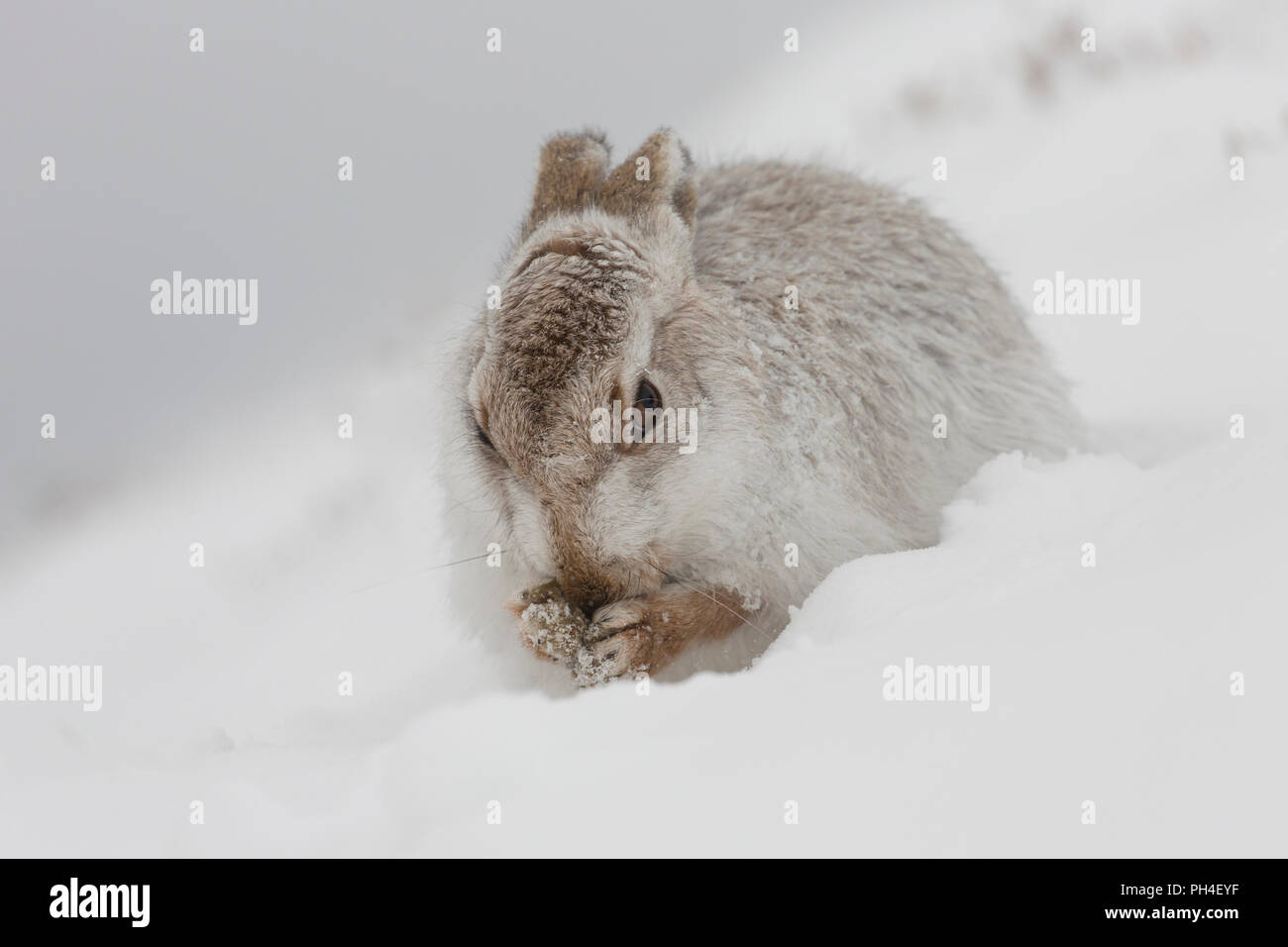 Mountain Hare (Lepus timidus). Adult in white winter coat (pelage) in snow, grooming. Cairngorms National Park, Scotland - Stock Image